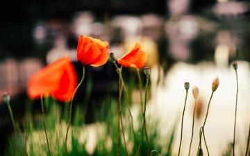 цветы, лепестки, красные, маки