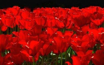 цветы, лепестки, сад, весна, тюльпаны, клумба