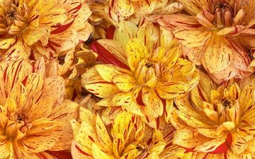 flowers, petals, chrysanthemum