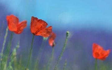 цветы, лето, красные, маки