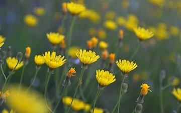 цветы, бутоны, лепестки, луг, стебли, желтые, полевые цветы