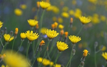 flowers, buds, petals, meadow, stems, yellow, wildflowers