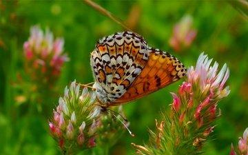 цветы, макро, насекомое, бабочка, крылья, весна