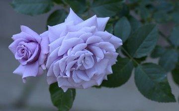 цветы, макро, розы