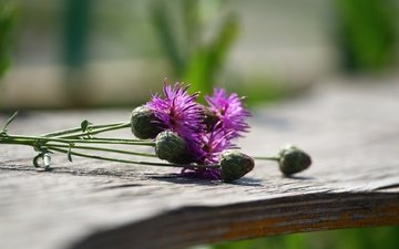 цветы, макро, растение, чертополох