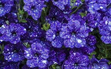 цветы, красивые, фиолетовые, петунья