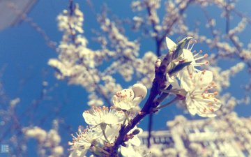 flowers, nature, flowering, macro, branches, spring, plum