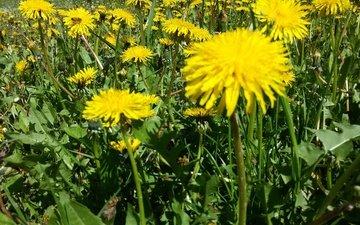 цветы, природа, поляна, одуванчики, желтые