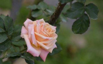 цветы, листья, роза, лепестки, бутон