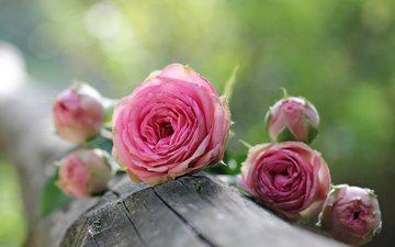 цветы, розы, бревно
