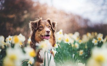 flowers, dog, each, daffodils, australian shepherd
