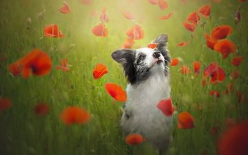 flowers, dog, maki, meadow, the border collie