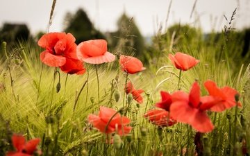 цветы, трава, поле, лепестки, красные, маки