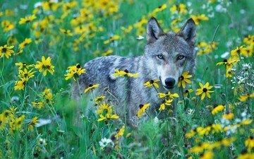 flowers, grass, wolf