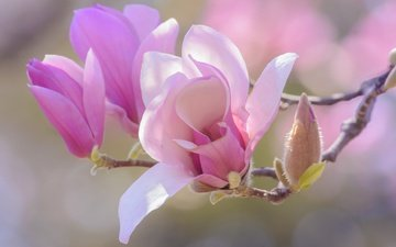 flowers, branch, flowering, buds, petals, spring, magnolia