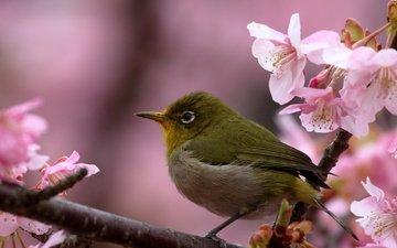 цветы, ветка, птица, весна, вишня, сакура, белоглазка