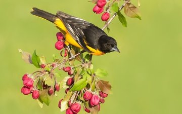 flowers, branch, garden, bird, beak, tail, oriole, baltimore oriole