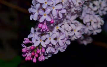 flowers, branch, lilac