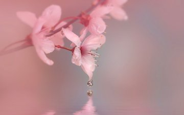 flowers, water, macro, drop, spring, cherry