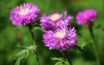 цветы, зелень, насекомое, лето, васильки