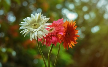 flowers, nature, red, white, orange, gerbera