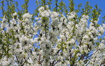 the sky, tree, flowering, branches, spring, white flowers