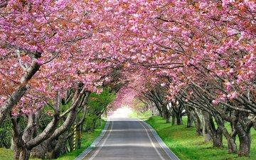 дорога, деревья, цветение, весна