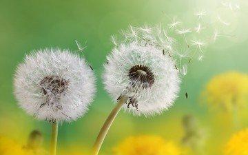 flowers, seeds, dandelions, fuzzes, blade