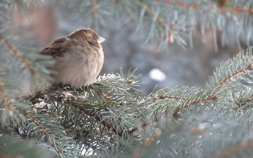tree, needles, branches, bird, spruce, sparrow