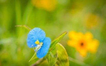 листья, фон, цветок, лепестки, синеглазка, лазорник, коммелина обыкновенная