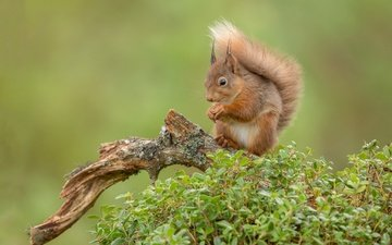 background, red, protein, snag, tail, squirrel, rodent