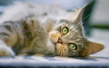 eyes, cat, muzzle, look, maine coon