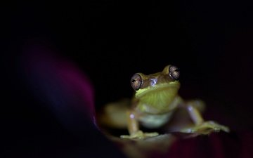 eyes, frog, black background, animal, amphibian