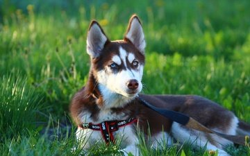 eyes, face, grass, puppy, husky, leash