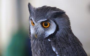 глаза, сова