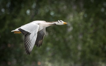 природа, полет, крылья, птица, клюв, перья, гусь