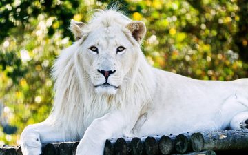 predator, zoo, the king of beasts, white lion