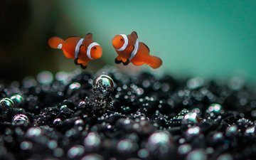 sea, fish, clown, underwater world, clown fish