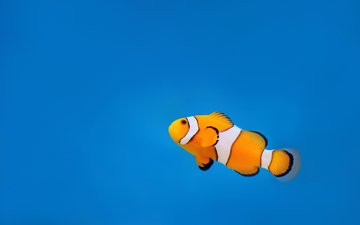 water, the ocean, clown, fish, underwater world, clown fish
