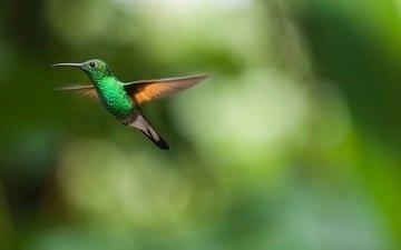 полет, крылья, размытость, птица, клюв, перья, колибри