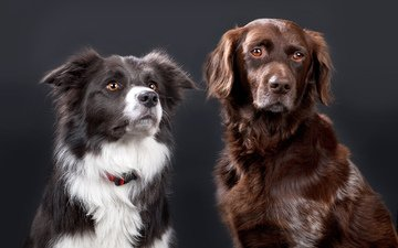 dogs, collie, the border collie