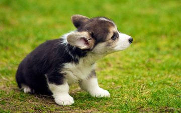 grass, dog, puppy, welsh corgi, corgi, pembroke