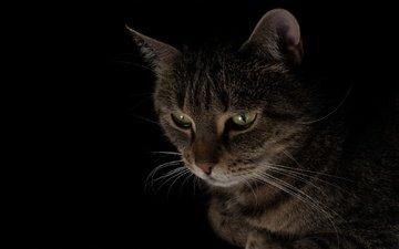 кот, мордочка, кошка, взгляд, черный фон