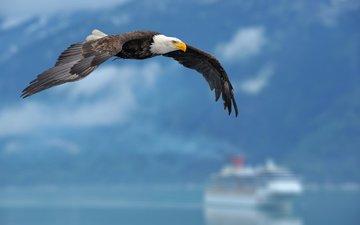 крылья, птица, белоголовый орлан