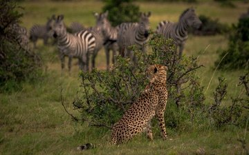 the bushes, africa, hunting, cheetah, wild cat, observation, kenya, zebra