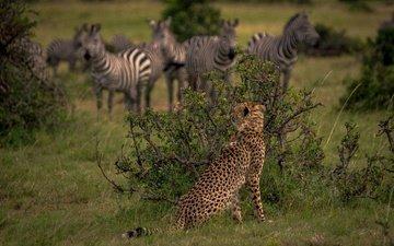 кусты, африка, охота, гепард, дикая кошка, наблюдение, кения, зебры