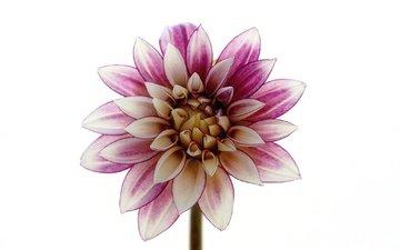 macro, flower, petals, white background, dahlia