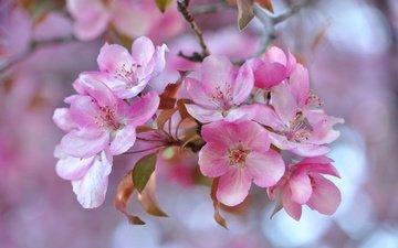 цветение, лепестки, сад, весна, соцветие