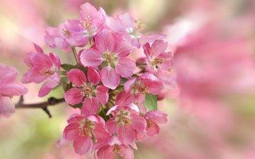 лепестки, сад, весна, вишня, соцветие