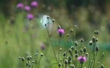 цветы, фон, лето, стебли, полевые цветы, чертополох, стебели
